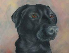 Archie, black labrador